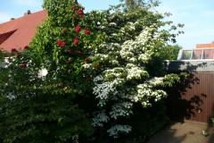 "Cornus kousa ""Selektion Kordes"" und Rose ""Tradition 95"" Kordes"