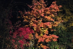 Cornus kousa - angestrahlt bei Nacht