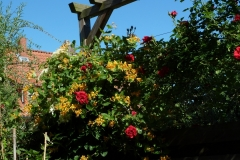 "Lonicera tellmanniana und Rosa ""Sympathie"""