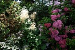 """Aruncus dioicus, Kalmia latifolia """"Nancy"""" und Kalmia latifolia """"Pink Charm"""""""