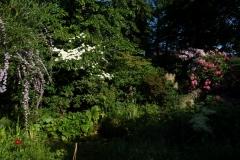 Buddleja alternifolia, Cornus kousa und Kalmien
