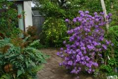 "Mahonie ""Charity"", Jasminum mesnyi und Rhododendron ""Blaufeder"""