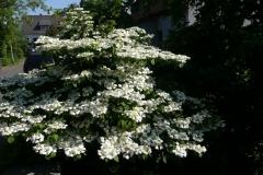 """Viburnum plicatum """"Cascade"""""""