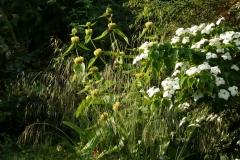 "Stipa gigantea, Phlomis russeliana und Cornus kousa ""Selektion Kordes"""