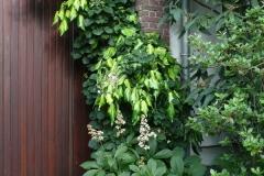"""Hydrangea petiolaris, Hedera colchica """"Sulfur Heart"""" und Rodgersia henrici"""