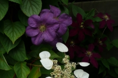 "Schizophragma hydrangeoides ""Moonlight"", Clematis Perrin's Pride"