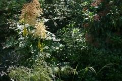 Deschampsia caespitosa und Aruncus dieuicus
