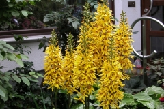 "Ligularia stenocephala ""Weihenstephan"""