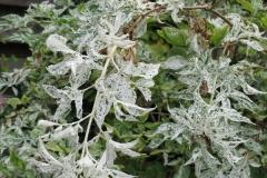 Holunder - Sambucus nigra Pulverulenta
