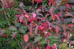 "Pfaffenhut - Euonymus europaeus ""Red Cascade"""