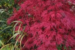 """Acer palmatum """"Orangeola"""""""