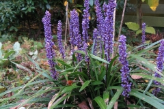 Traubenlilie - Liriope muscari