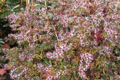 Herbstaster - Aster laterifloris horizontalis