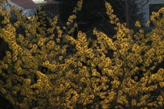 """Hamamelis """"Barmstedt's Gold"""""""