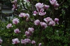 """Magnolia soulangiana """"Sundew"""""""
