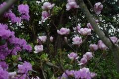 "Magnolia soulangiana ""Sundew"" und Rhododendron carolianum ""P.J. Mezitt"""