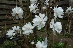 """Magnolia """"Wildcat"""""""