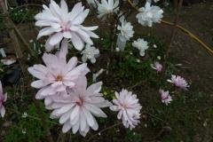 "Magnolia stellata Chrysanthemiflora und Magnolia ""Wildcat"""