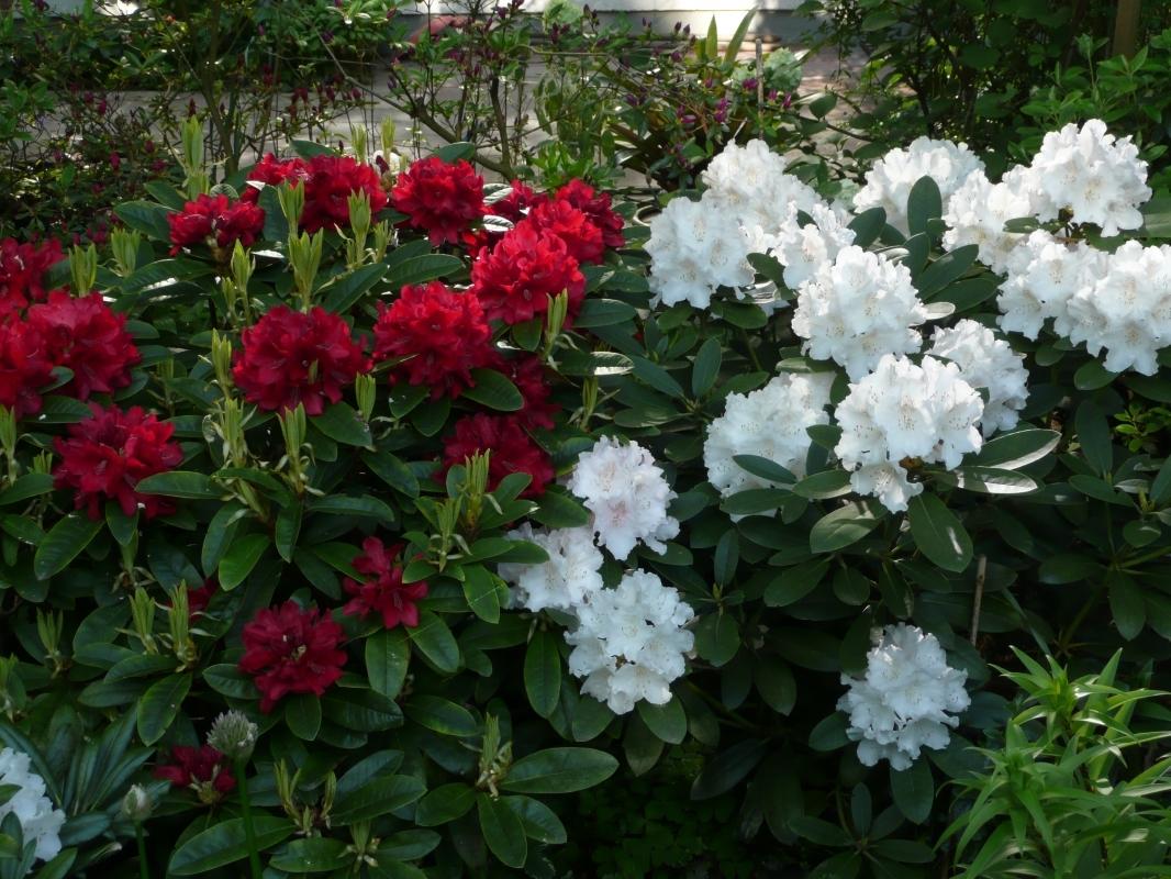 """Rhododendron """"Brisanz"""" und Rhododendron """"Schneekrone"""""""