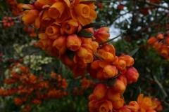 "Berberis linearifolia ""Orange King"""