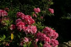 """Kalmia latifolia """"Ostbo Red"""""""
