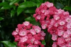 """Kalmia latifolia """"Pink Charm"""""""