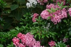 "Kalmia latifolia ""Pink Charm"" und ""Nancy"""