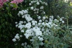 Viburnum plicatum und Phlomis fruticosa