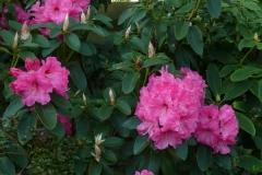 "Rhododendron williamsianum ""Halleluja"""