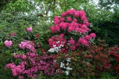 """Rhododendron yakushimanum """"Astrid"""""""