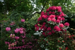 "Rhododendron williamsianum ""Hallelujah"""