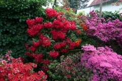 """Rhododendron """"Doctor Ross"""""""