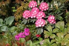 """Rhododendron """"Fantastica"""", Primula japonica und Rodgersia podophylla"""
