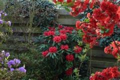 """Rhododendron strigillosum und japanische Zierquitte """"Nicoline"""", Rhododendron """"Blaufeder"""""""