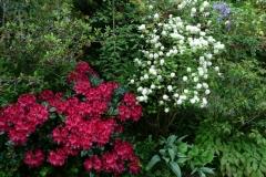 Rhododendron repens Corinna und Fothergilla major