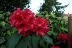 "Rhododendron ""Taurus"""