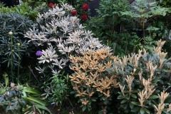 Rhododendron yak. x pseudochrysanthum  Rhod. yak. x lanatum Mitte, Rhod. Hydon Velvet rechts