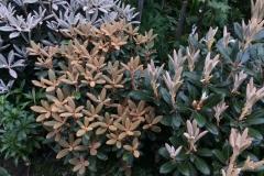 Rhododendron yak. x pseudochrysanthum, Rhod. yak. x lanatum, Rhod. Hydon Velvet