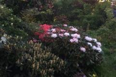 Rhododendron bureavii Hydon Velvet, rosa