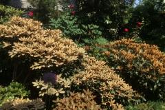 Schönlaubige Rhododendren, Neuaustrieb,