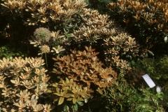 Schönlaubige Rhododendren, Rhod. bureavii Mitte, braune Blattfärbung