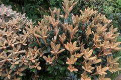 Rhododendron Hydon Velvet, rechts