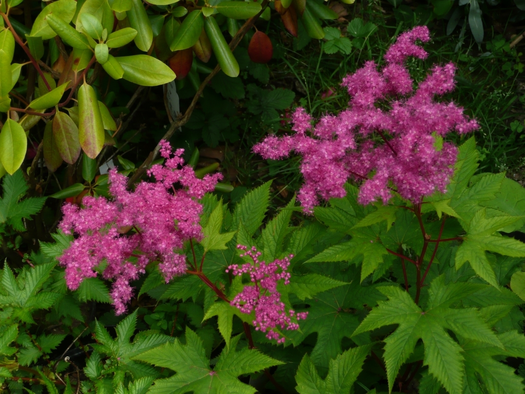 Filipendula purpurea Kio Kanaka