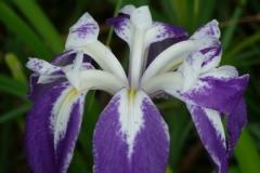 Iris laevigata monstrosa
