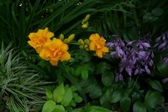 Hemerocallis Condilla und Hosta clausa var. normalis